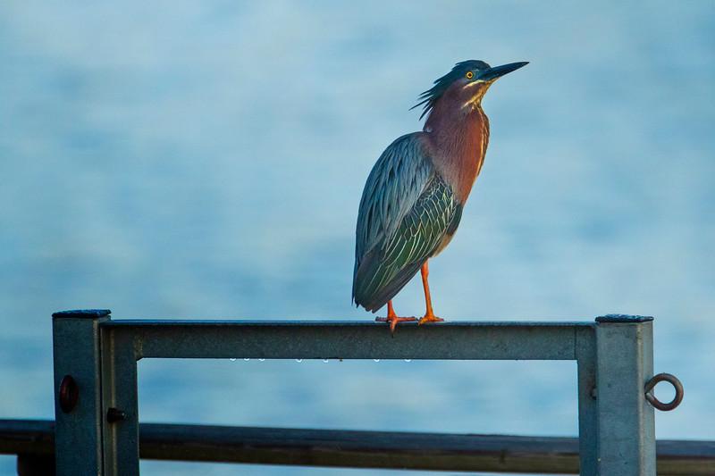 5.16.19 - Prairie Creek Marina: Green Heron