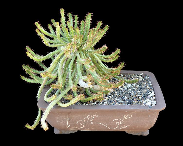 Euphorbia micracantha