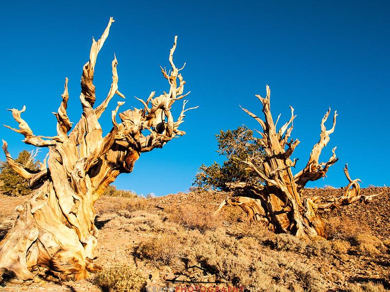 Bristlecone Pine forest California 4