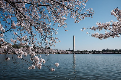 Washington DC - Cherry Blossoms 2016