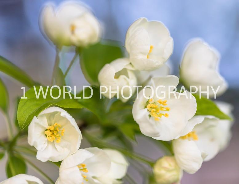 201905132019_Backyard Apple Blossoms050--143.jpg