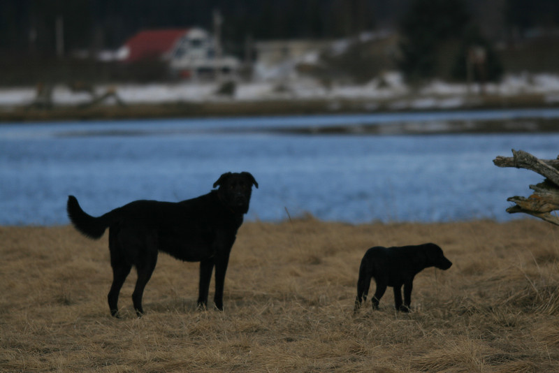 The black dogs, Apollo and Addy hang out in a grassy field