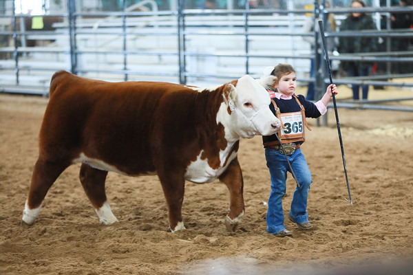 Open Mini Hereford