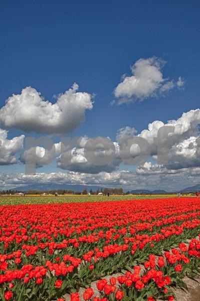 Tulips, Rosa Garte 0948_HDR.jpg