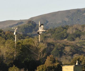 Jan 2008-Otters, Harrier, etc