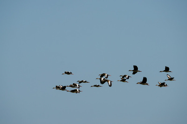 Anahuac_Black Belly Whistling Ducks in flight