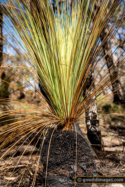 Grass Tree Regeneration
