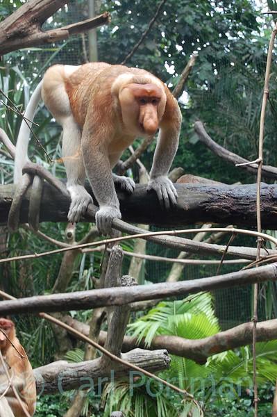 At Singapore Zoo Nov 08 (142).JPG