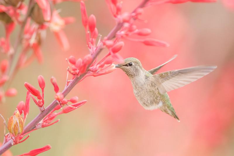 Kolibry, jerzyki i inne krótkonogie