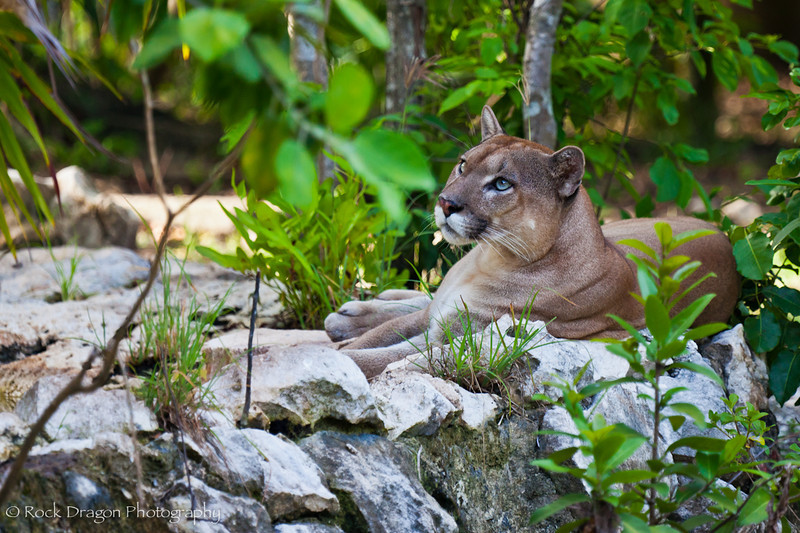 A Cougar at Xcaret Eco-Park in Mexico.