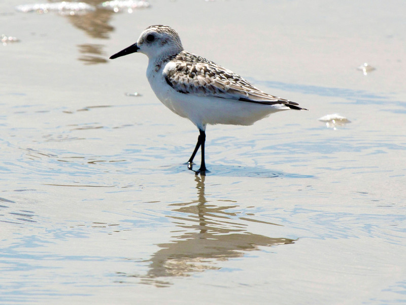 Another Sandpiper