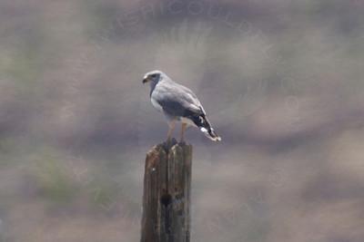 Hawk, Gray