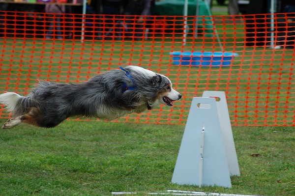 Flyball, Geelong, May 2006 (Part 2)