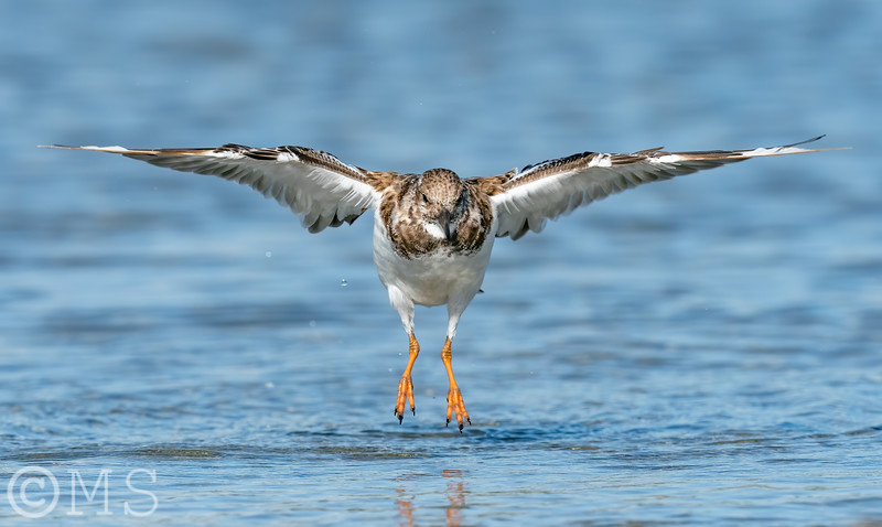 Ruddy Turnstone Image Gallery