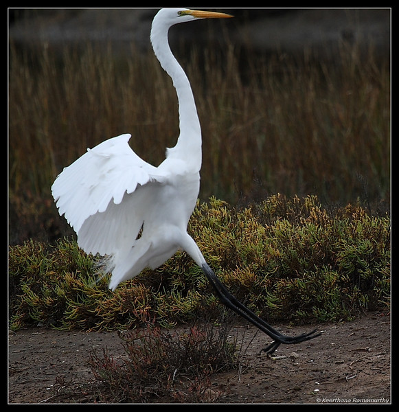 Great Egret landing, Famosa Slough, San Diego County, California, December 2008