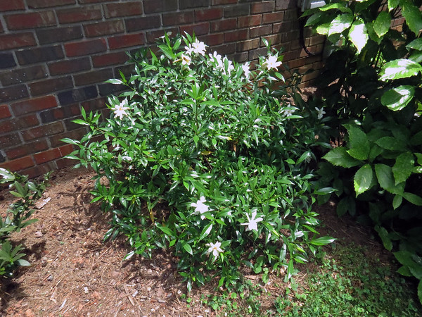 May 28:  The lilies and gardenia are starting to bloom .  .  .