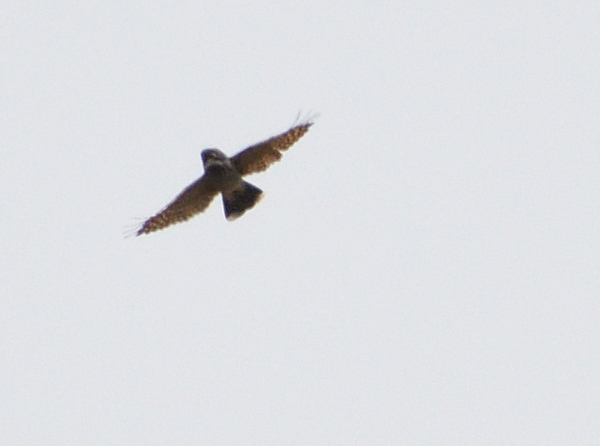 Common Poorwill - 5/18/2021 - Del Mar Overlooking Torrey Pines Reserve