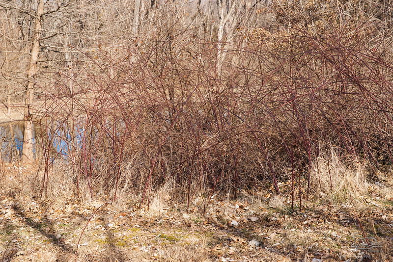 Blackberry thicket by pond