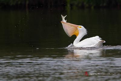 Birds of Sanibel