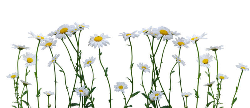 daisies_cut_out_stock_by_eirian_stock-d3is0gs.png