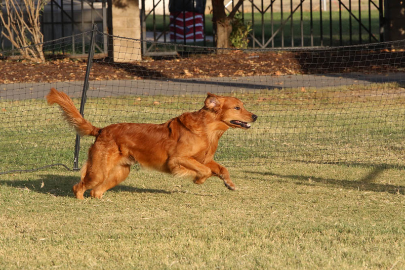11-4-2018 Border Terrier-2661.jpg
