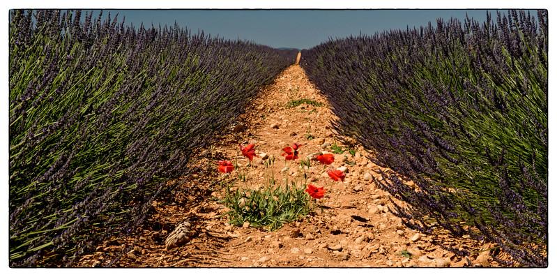 lavender poppy.jpg