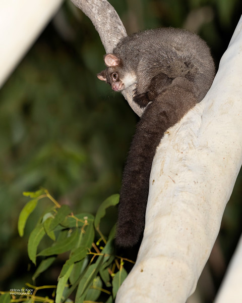 Northern Greater Glider, Hidden Valley, QLD, Jan 2020-1.jpg
