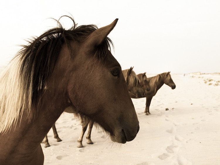 Wild Ponies Sepia facebook.jpg
