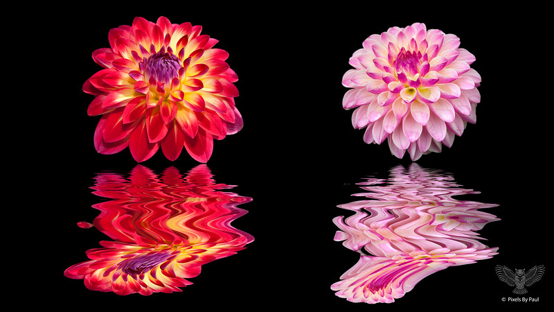 00830 Two Dahlia Flood 04 16x9.jpg