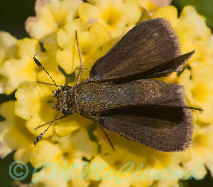 "Skipper butterfly.  His wings are held in the ""jet-fighter"" position that is typical of skipper butterflies."