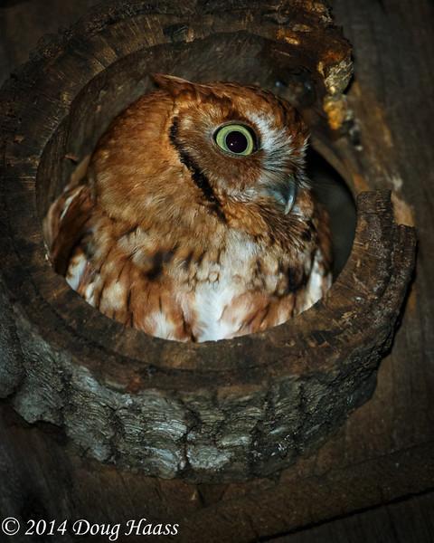Rufous (Red) Morph Eastern Screech Owl at Night