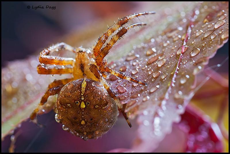 Spider glory, 18