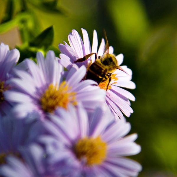 bee-on-flower_2398069829_o.jpg