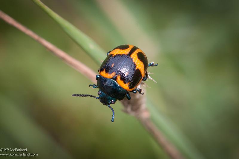 Swamp Milkweed Leaf Beetle (Labidomera clivicollis)