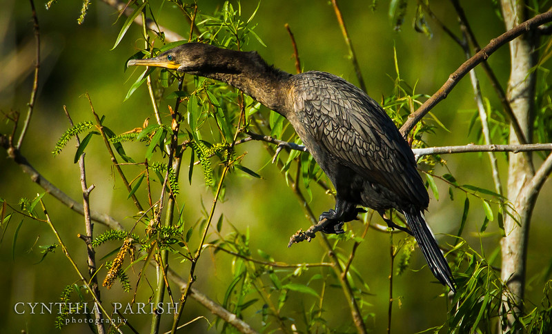 Cormorant at the Rookery - High Island, Texas