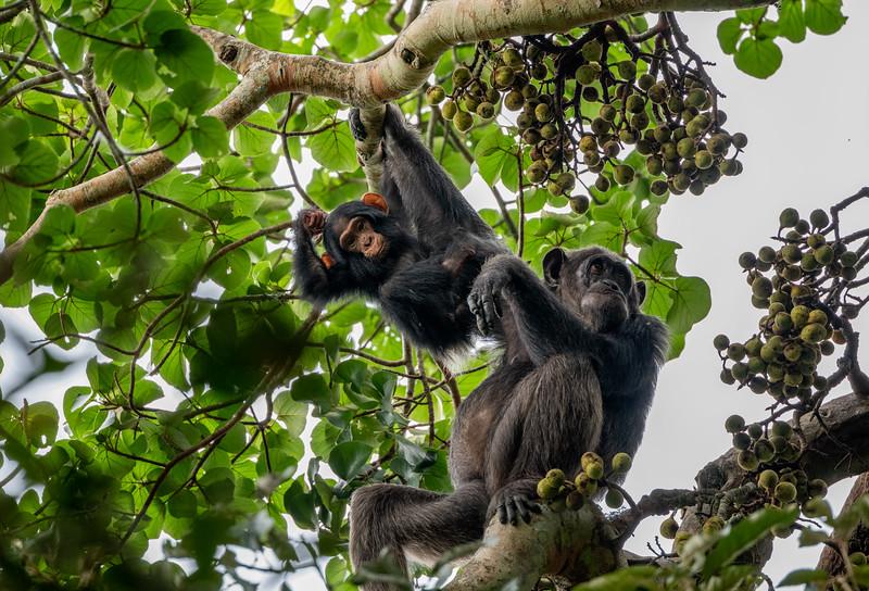 Uganda_T_Chimps-1268.jpg