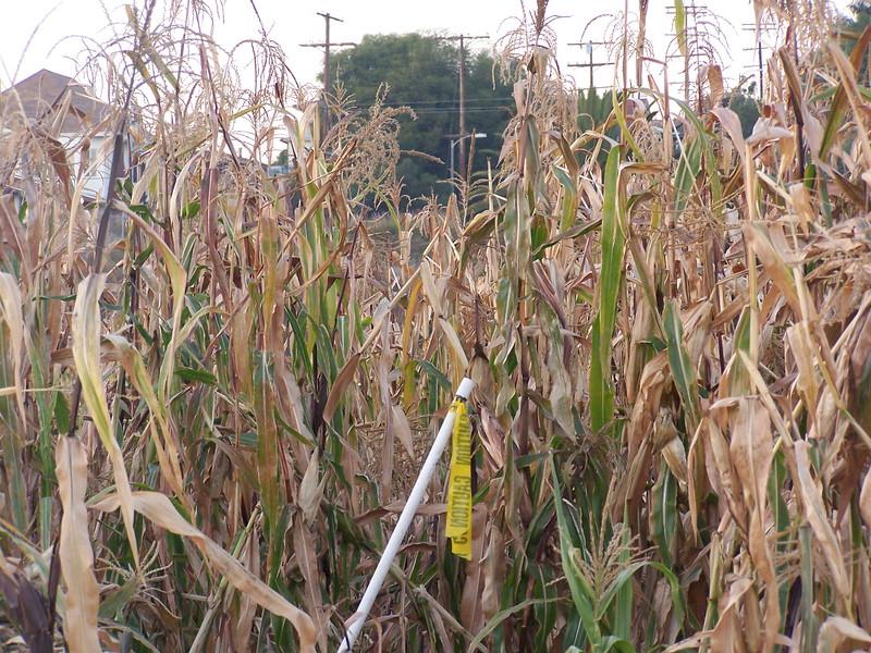 05-11-30-So_Much_Not_Corn-09.JPG