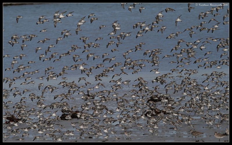 Western Sandpipers, Robb Field, San Diego River, San Diego County, California, January 2010