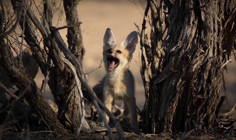Cape Fox cub playing hide-and-seek, Kalahari Desert