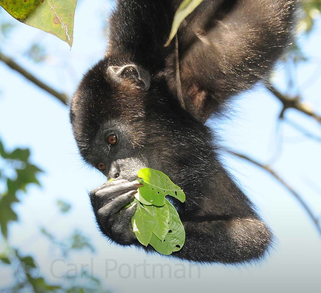 Young Howler eating.jpg