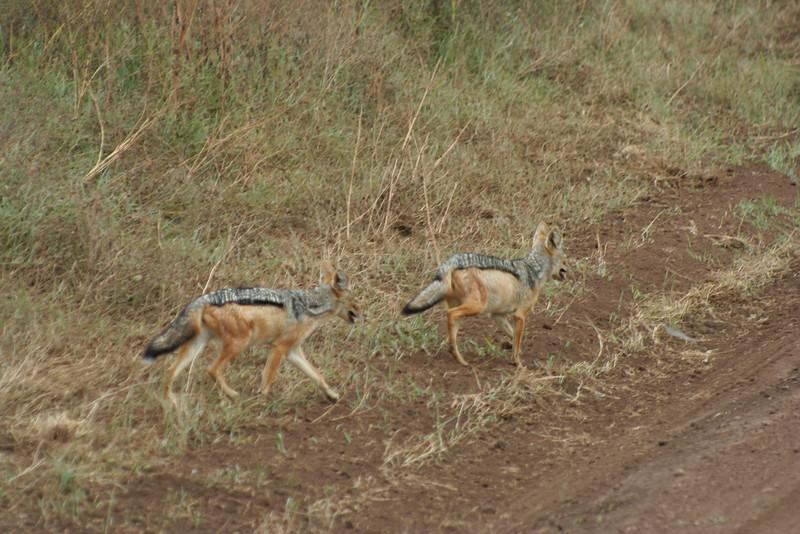 jackals. ngorongoro crater
