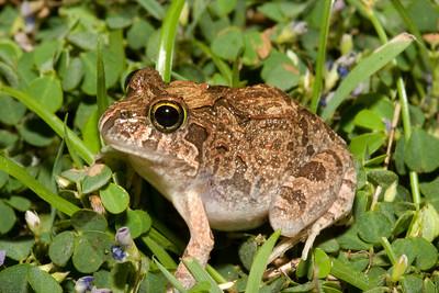 """Limnodynastes """"Marsh"""" frogs"""