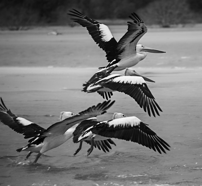 pelicans bw.jpg