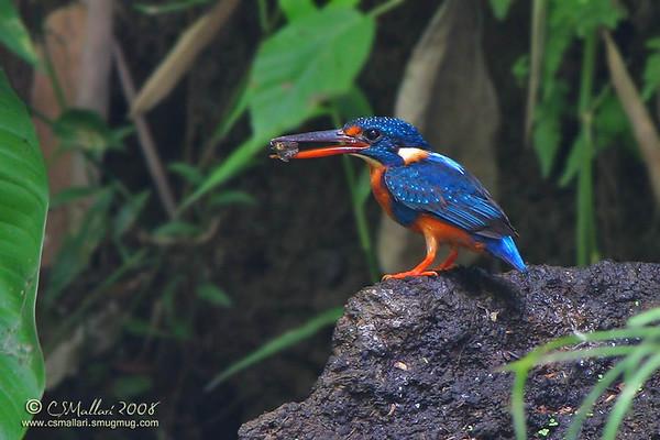 Kingfishers - Family: Alcedinidae