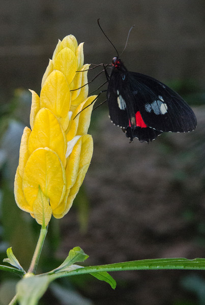 Yellow Flower And Black Butterfly.jpg