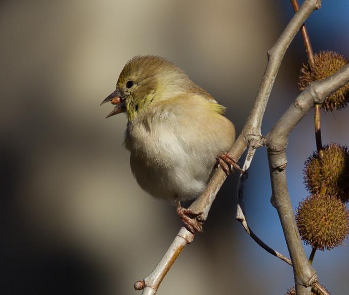 American Goldfinch  Encinitas 2015 12 01-1.CR2