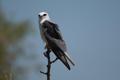 2021_7_4 White tailed kite best