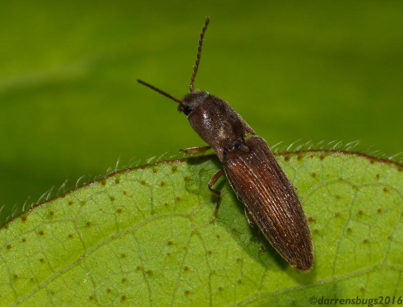 Weevil (Polydrosus sp.) from Iowa.