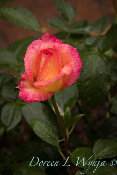 Rosa 04-0066_6000.jpg