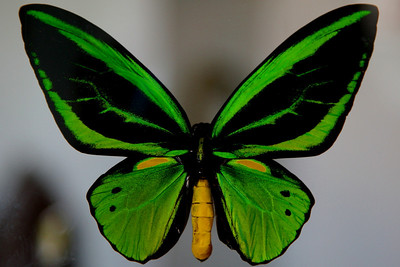 BIRDWING THREE